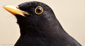 close-up photo of a blackbird, photographed by Gavin Hamilton