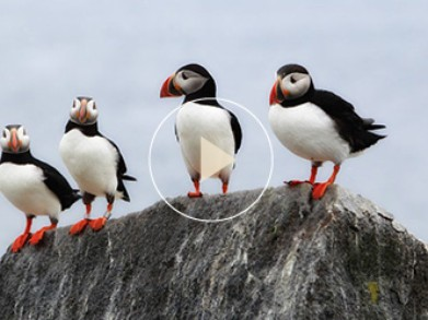 Behind the Scenes with Puffins