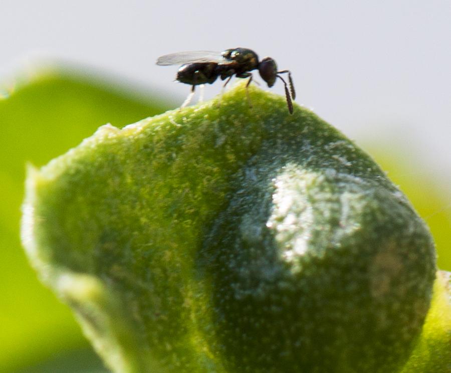 Cynipid wasp on ceanothus leaf00