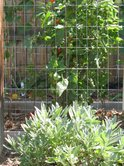 Sage, fronting tidy tomato beds