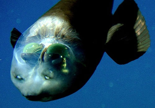 Barreleye a.k.a Spook Fish