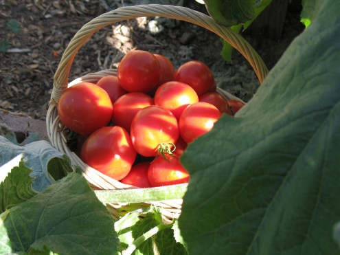 A day's tomato harvest in my first Colorado garden