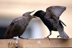 Starlings feeding time