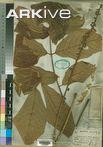 Millettia (Millettia macrophylla)