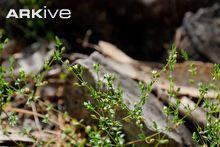 Arenaria (Arenaria leptoclados)