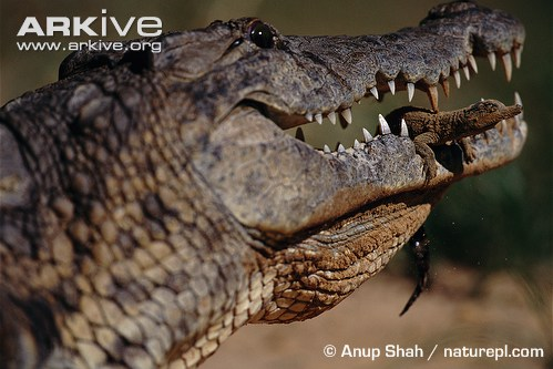 Newly hatched Nile crocodile gently held in adult's jaws