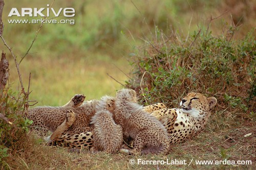 Female cheetah with suckling cubs