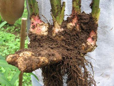 ginger+root - Kegunaan dan Khasiat Halia