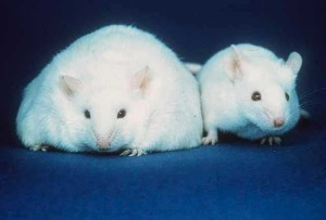 leptin-research-effects