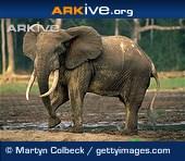 ARKive species - Forest elephant (Loxodonta cyclotis)