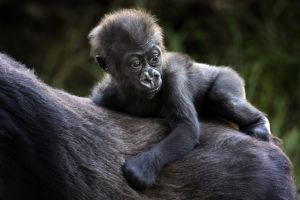 S.F. Zoo's youngest gorilla fatally crushed by door - Photo