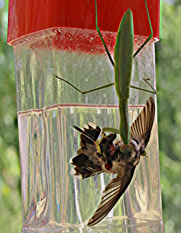 Chinese mantis preying on hummingbird © Jeanne Scott-Zumwalt