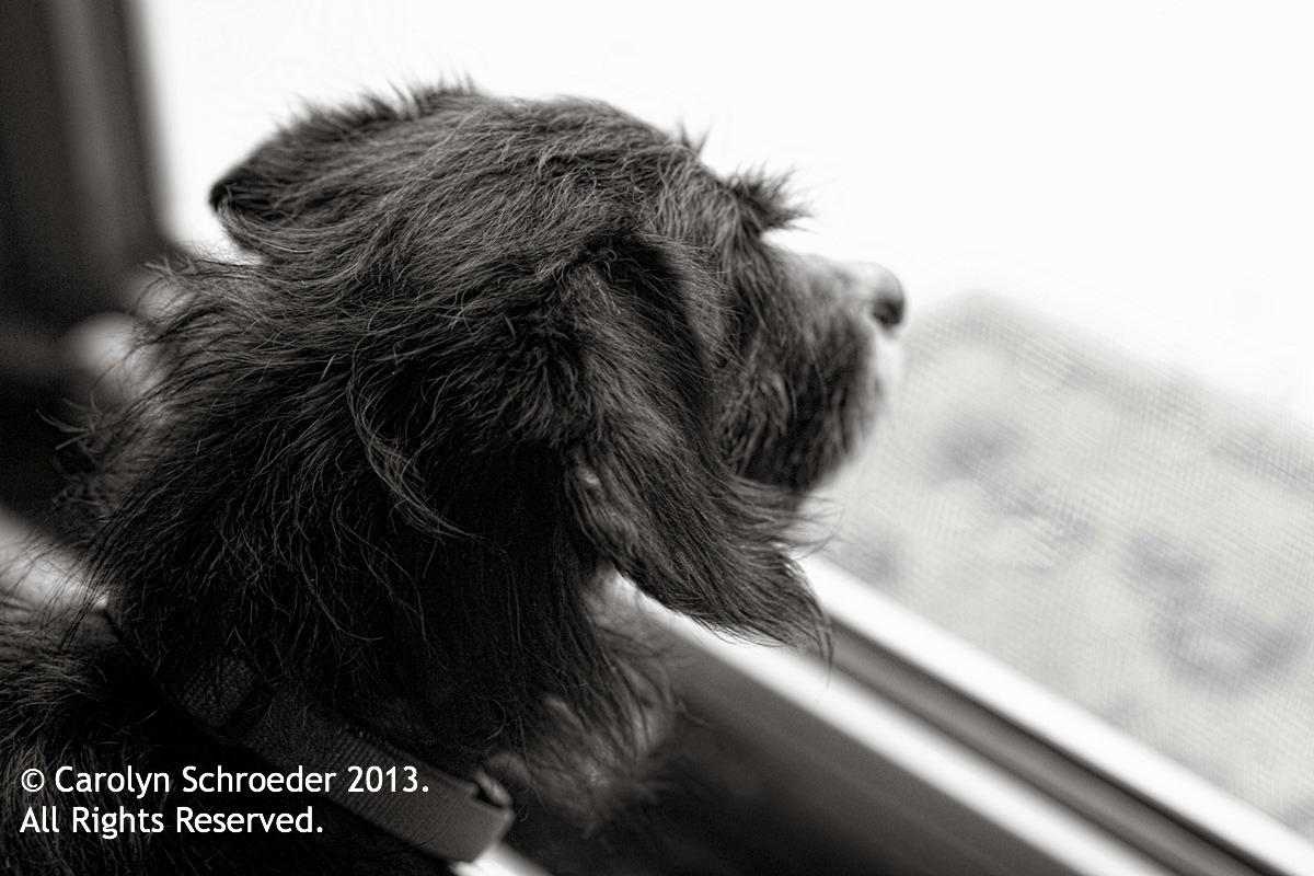 grover's story, a little scruffy Scottish Terrier mix