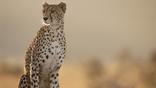 A sitting female cheetah looking alert