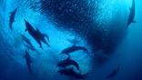 Long-beaked common dolphins circling a sardine baitball