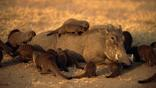 Banded mongoose foraging for parasites on skin of a warthog