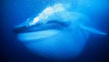 Blue Whale swimming