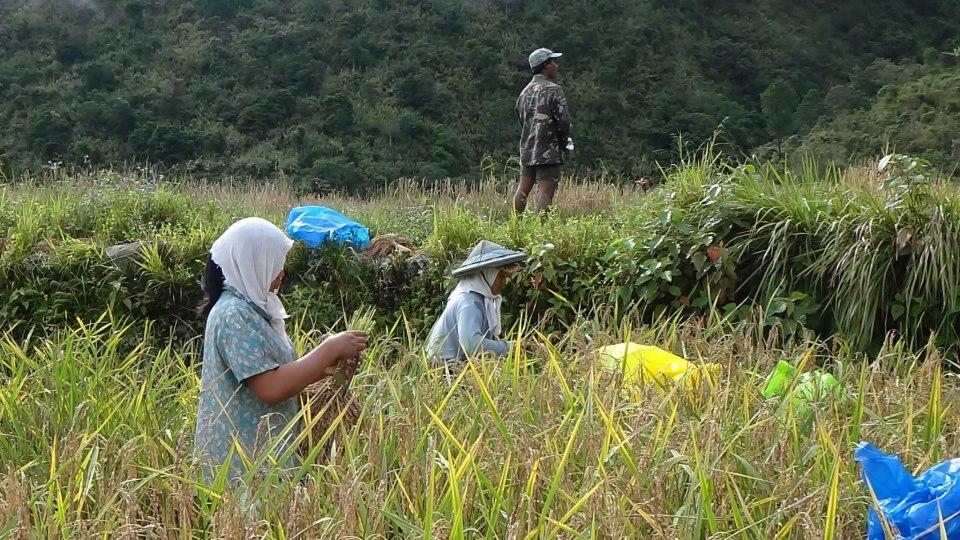 ロコン収穫