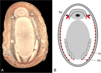 The pallial sensory organs of Lepidopleurida. A., Position of the Schwabe organ in Leptochiton algesirensis, as observed by ES; B., Schematic drawing indicating the sensory organs in the Lepidopleurida (generalised). The lateral organs extend through most of the pallial cavity, as shown, and the branchial organs are at the base of every gill (examples shown in 1B). So, Schwabe organs, indicated with chevrons; lo, lateral organs; bo, branchial organs.  Sigwart et al. Frontiers in Zoology 2014 11:7  doi:10.1186/1742-9994-11-7