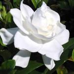 Buy Gardenia Flower Essence Remedy