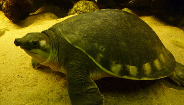 Scientists: Number of Green Turtles Increases More than 500%