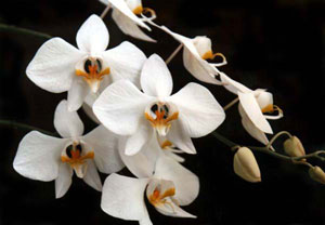 Phalaenopsis amabilis, Indonesia national flower