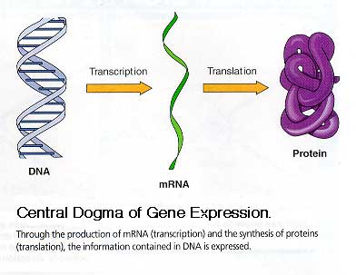 Dogma genetik: aliran informasi genetik yang menghasilkan protein dari penerjemahan informasi genetik dari DNA