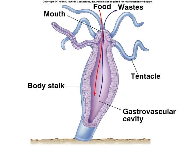 Sistem Pencernaan Kontak Pada Coeleanterata (Anemon)