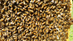 Can you spot the honeybee queen?