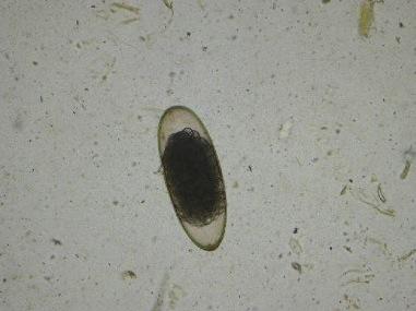 Lamanema chavezi egg