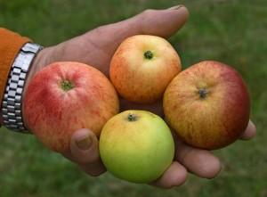 apple cider41