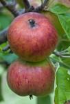 apple cider45