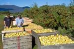 apple cider33