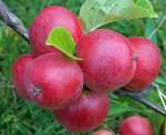 apple cider43