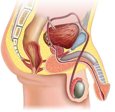 Reproductive-system-male