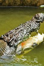 Crocodiles just wanna have fun: Scientists observe deadly reptiles at play