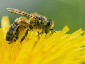 Honey bees need a societal balance for colonies to survive and thrive