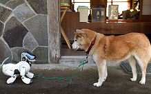 Kuma a Shiba Inu (R) looks at AIBO playing after a funeral for 19 'dead' pet robot AIBOs at the Kofuku-ji temple in Isumi, Chiba prefecture.