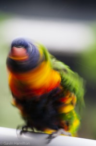 Rainbow Lorikeet shakes after a bath.