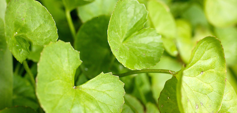 'Got Gotu?' The Benefits Of Gotu Kola