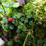 Partridge berry, Mitchella repens