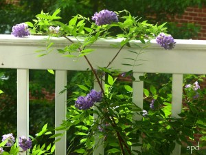 Native wisteria, Wisteria frutescens.