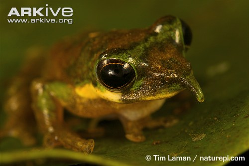Long-nosed tree frog photo