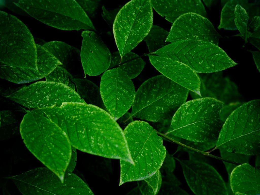 大片绿叶  淡雅背景图片