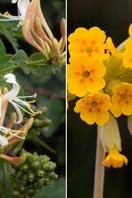 Cowslips vs honeysuckle: The hunt for the UK's favourite wildflower