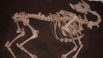 This camel skeleton was unearthed near the river Danube in Tulln, Austria. (Alfred Galik / University of Veterinary Medicine -- Vienna)