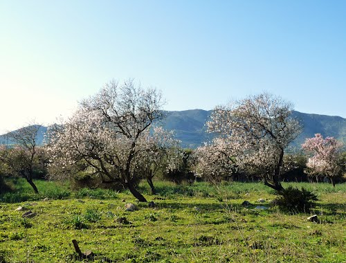 Almond trees. Please read my comment about them