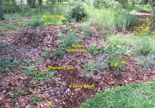 After all the weeding, clearing & mulching, a much more attractive all native space.