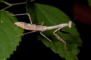 The native Carolina mantis, Stagmomantis carolina © Kaldari. Wikicommons