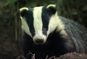 Badger picture
